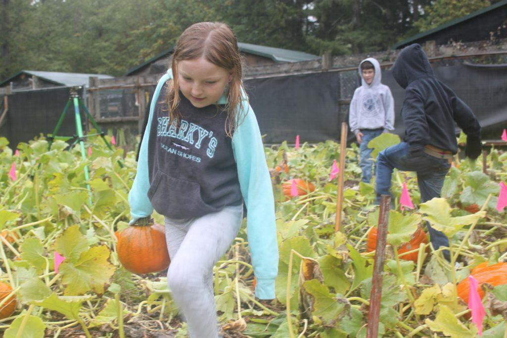 Weyerhaueser E.S. student Dakota Williams hauls a pumpkin to the truck.