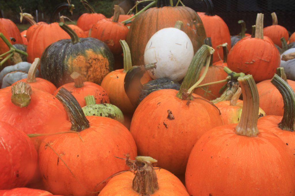 Trek-grown pumpkins ready to feed to animals over winter.