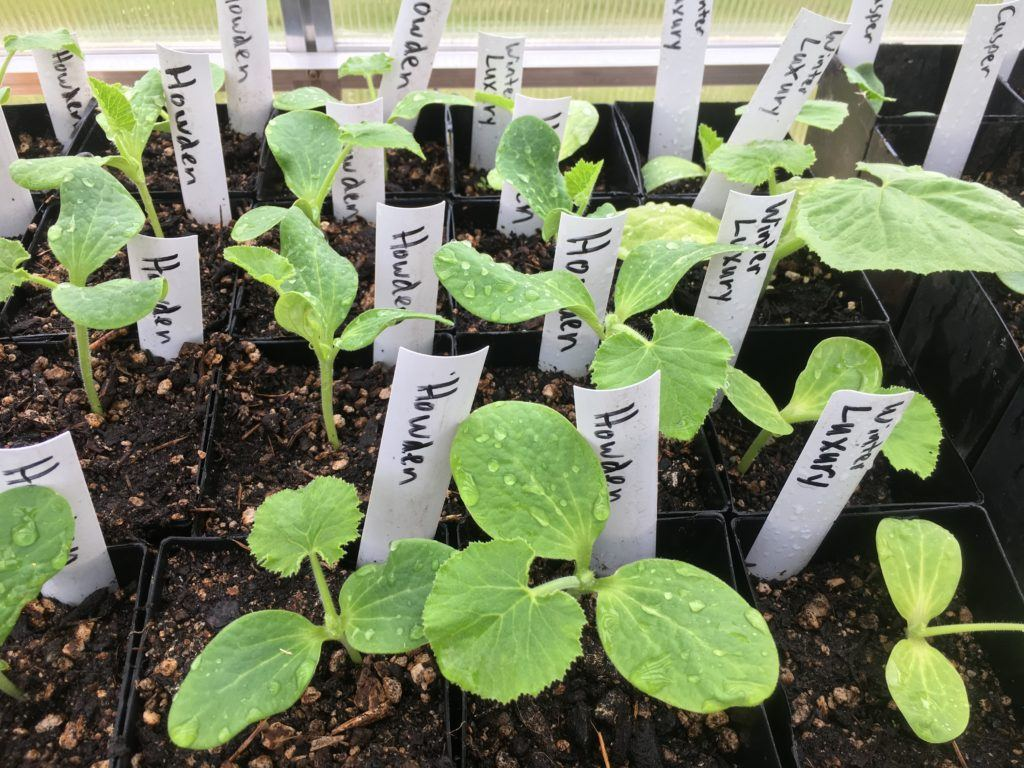The pumpkin starts grown by Weyerhaeuser Elementary students in the school greenhouse.