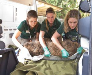 Veterinary technician and keepers lift bear