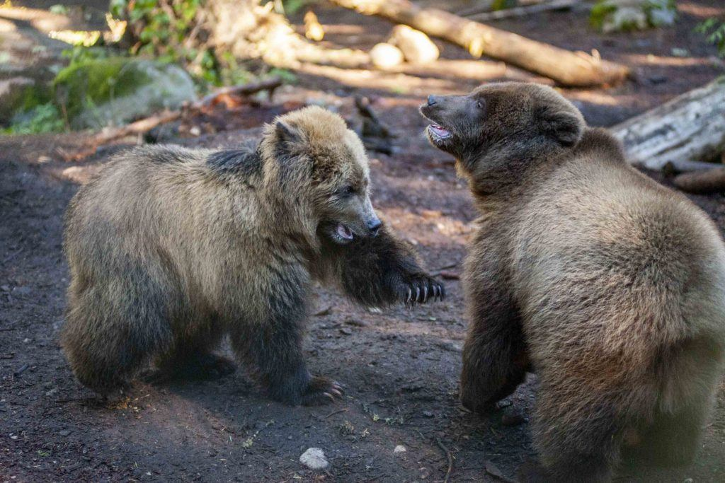 grizzly cubs paw up