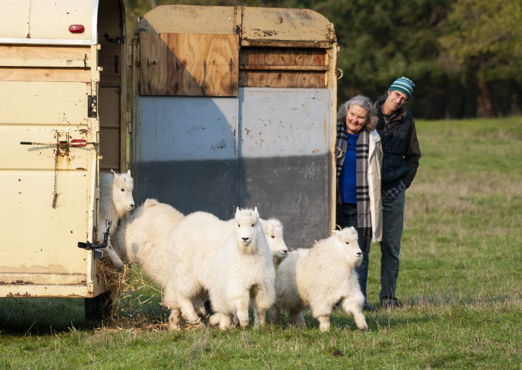 Mountain Goat Kids Release into Free-Roaming Area