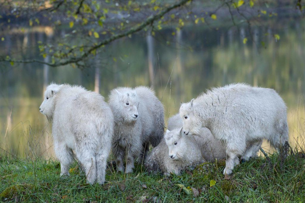 mountain goat kids under tree