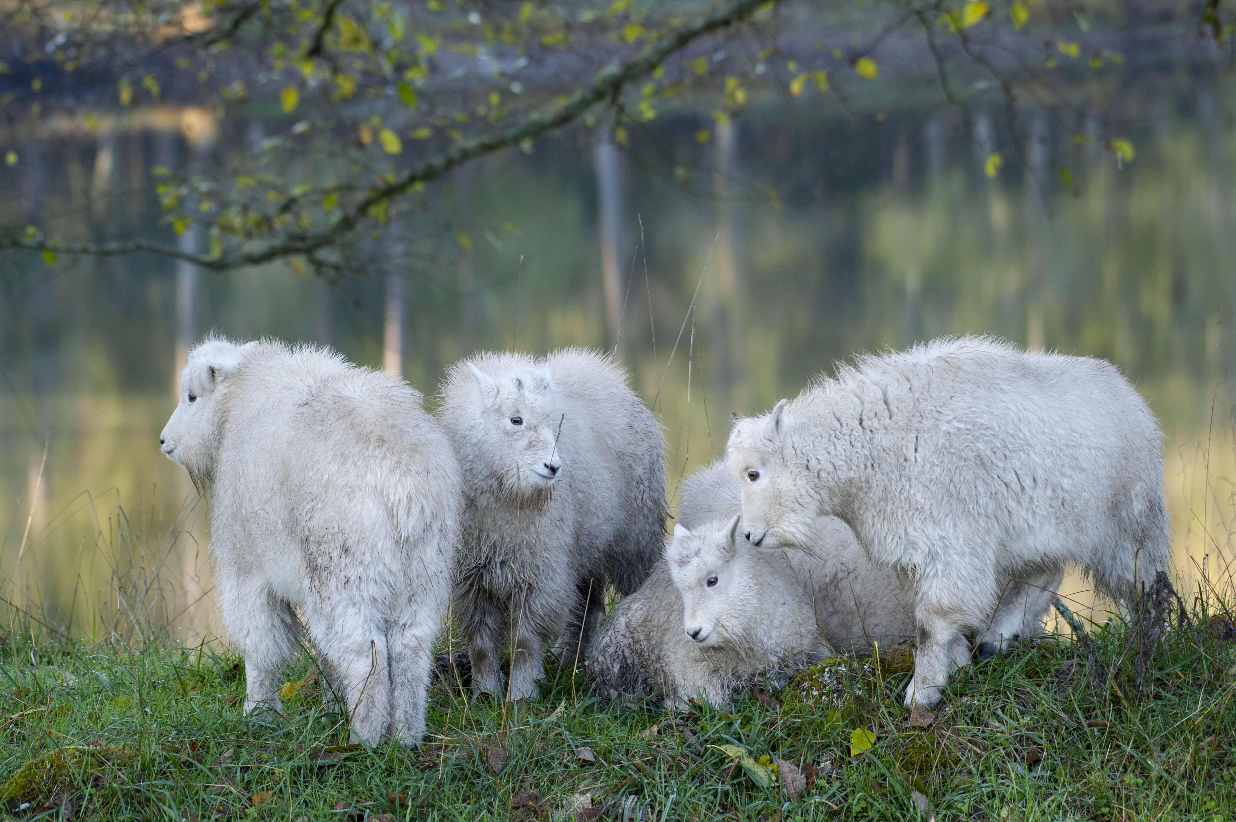 mountain goat kids under tree