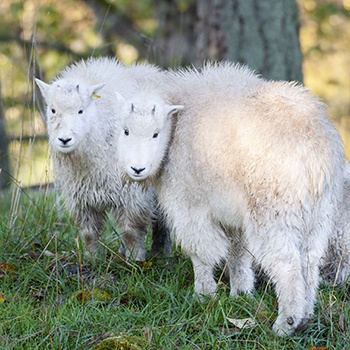 two mountain goat kids