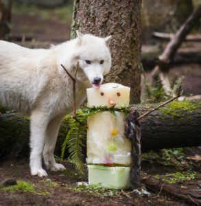 Wolf with popsicle enrichment