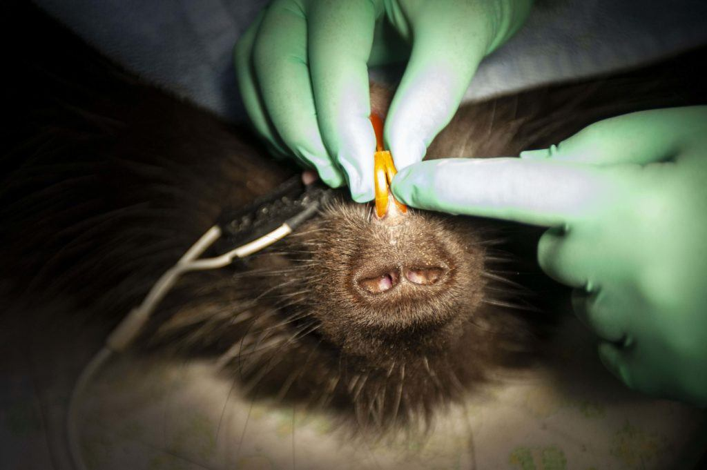 veterinarian porcupine exam teeth