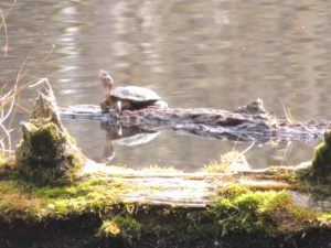 pond turtle grassy log