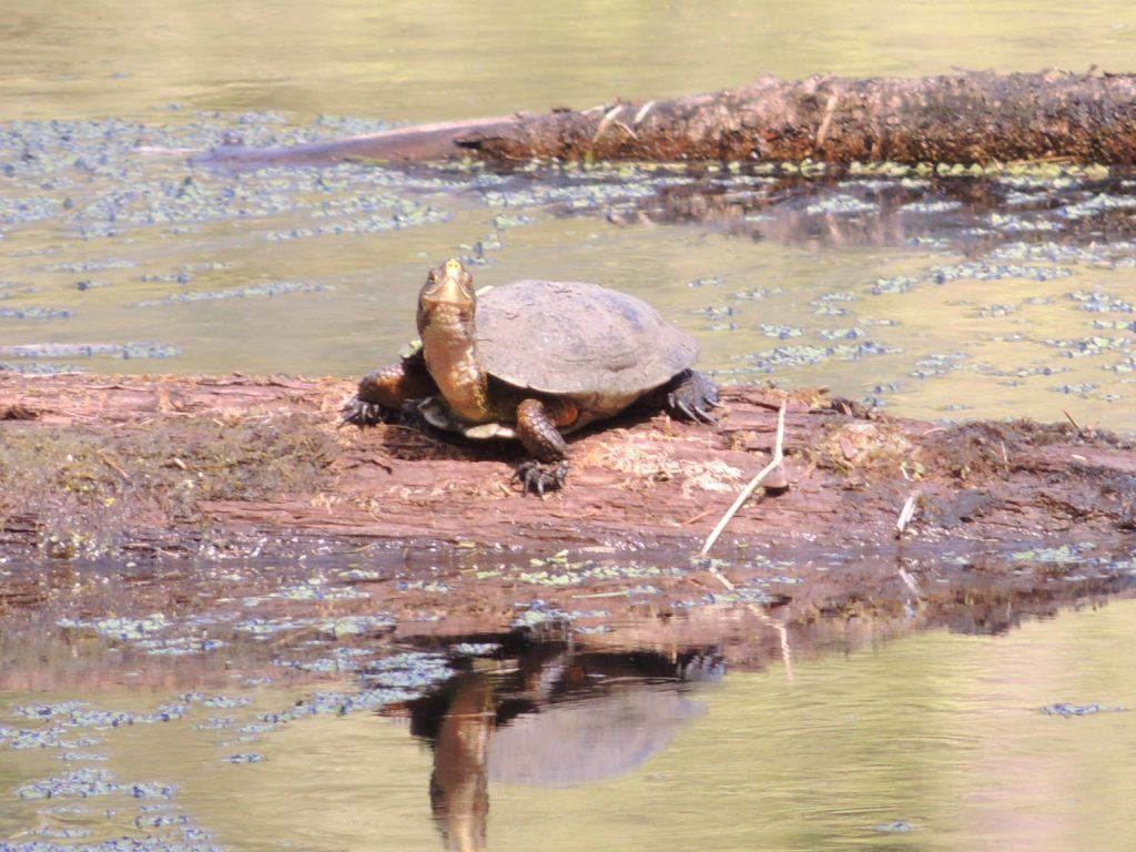 https://www.nwtrek.org/turtle-spotting/