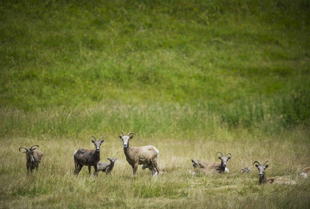 Bighorn sheep and lambs.