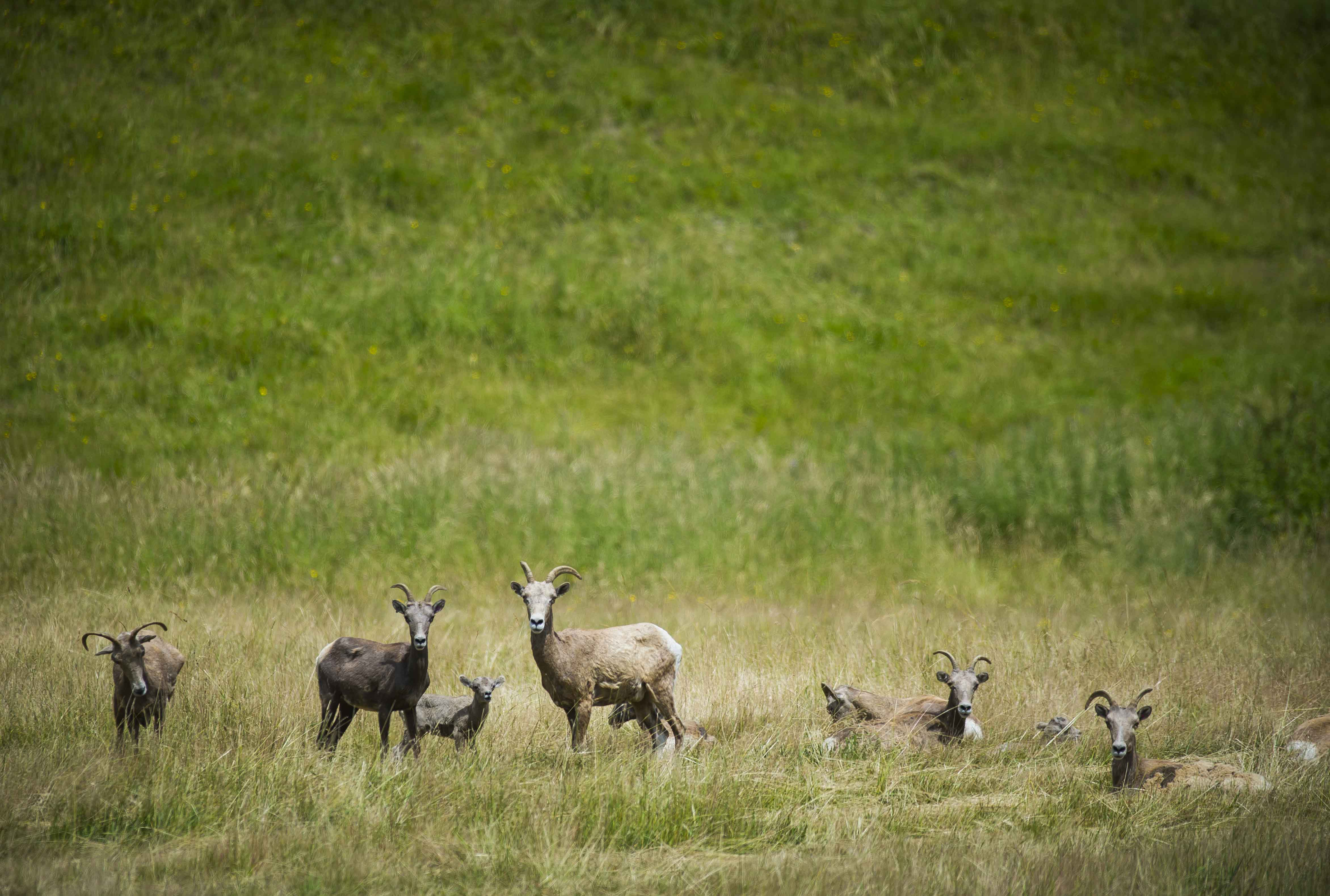Bighorn sheep and lambs.