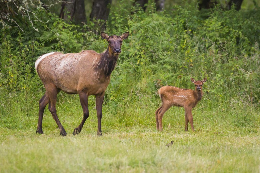 Elk and calf