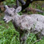 bighorn baby lamb