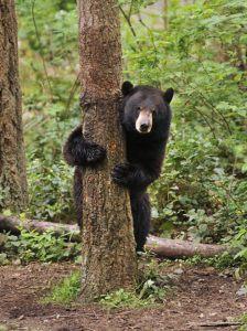 black bear behind tree