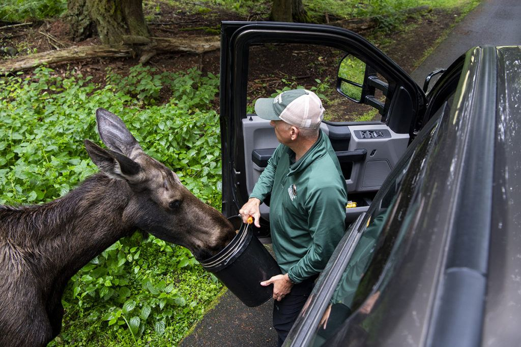 keeper feeding moose