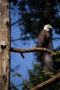 Sucia bald eagle on perch