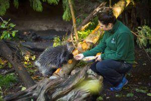 keeper miranda feeding porcupine