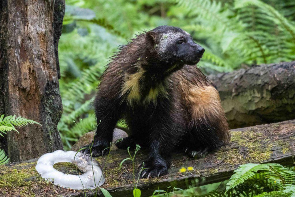 Rainier the wolverine with chest splash