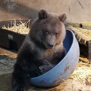 grizzly cub playing