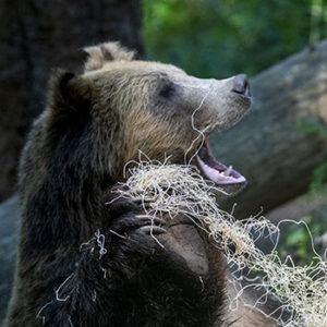 grizzly bear teeth