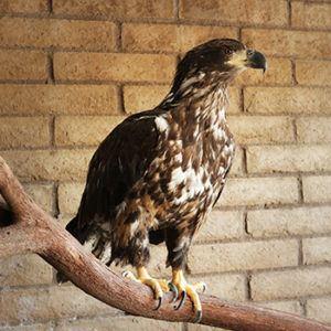 bald eagle Sequoia