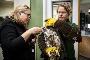 vet examining bald eagle