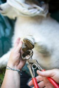 Trimming goat kid hooves.