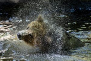 grizzly bear shaking water