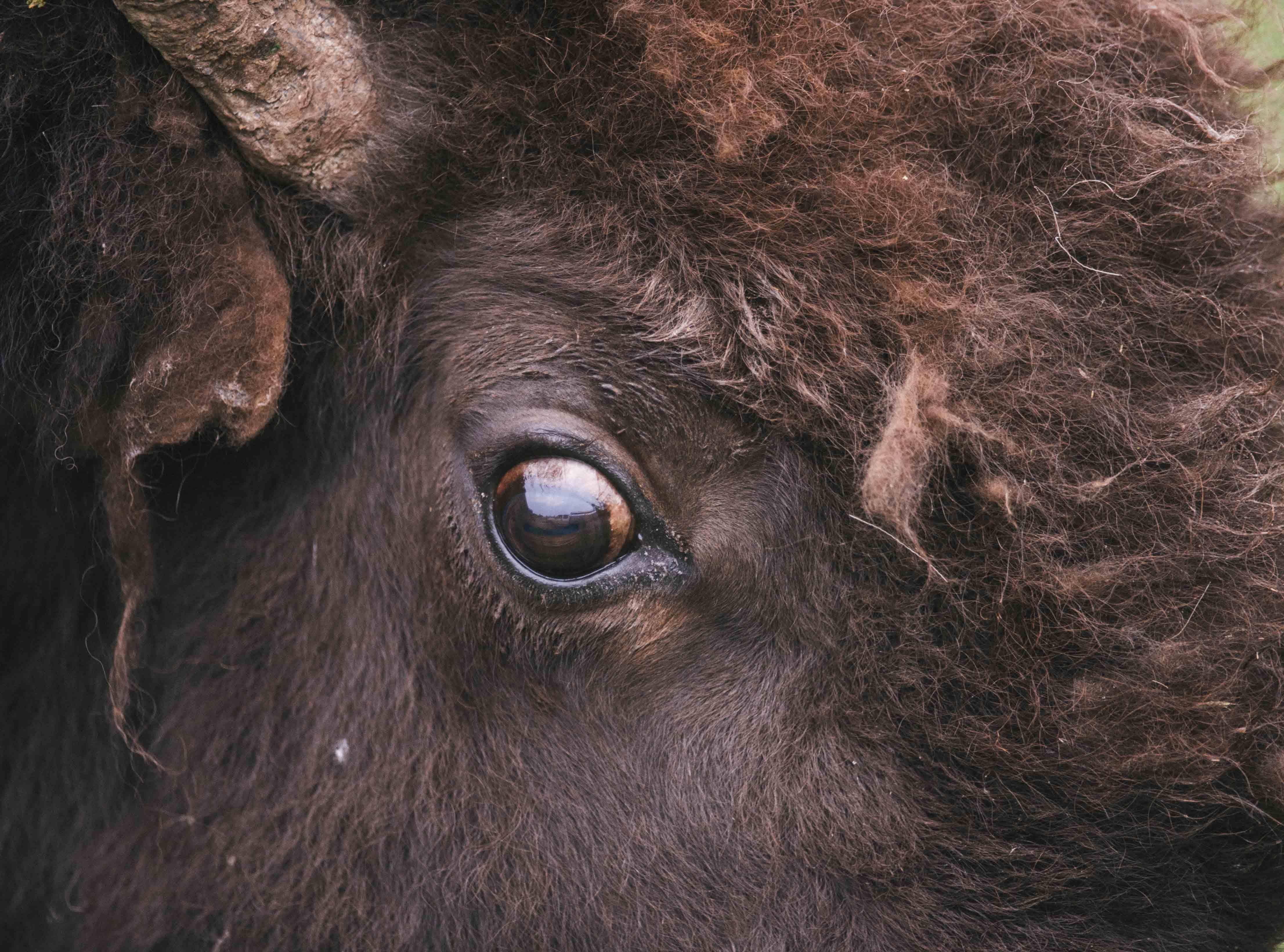 bison eye close up
