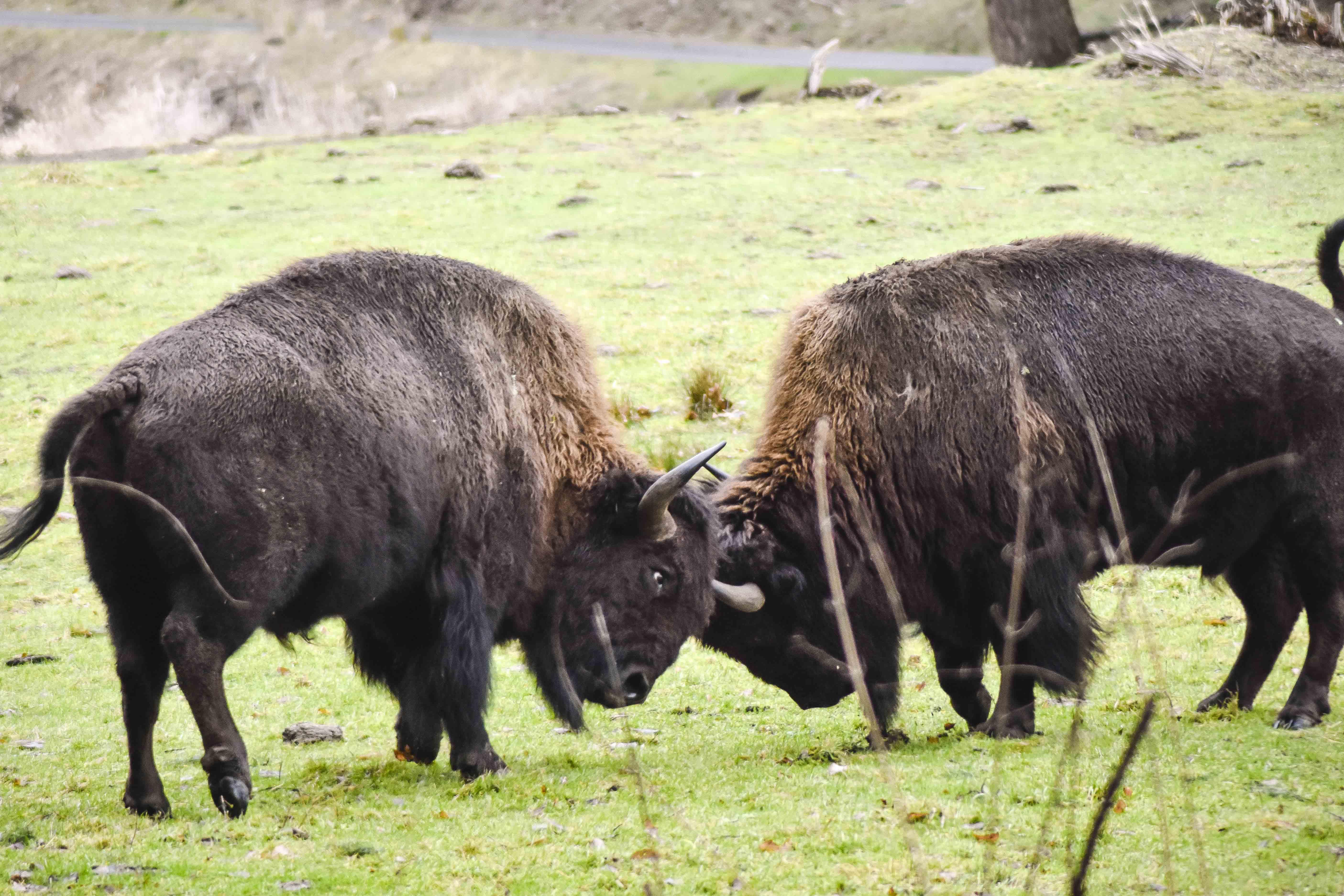 bison clashing heads