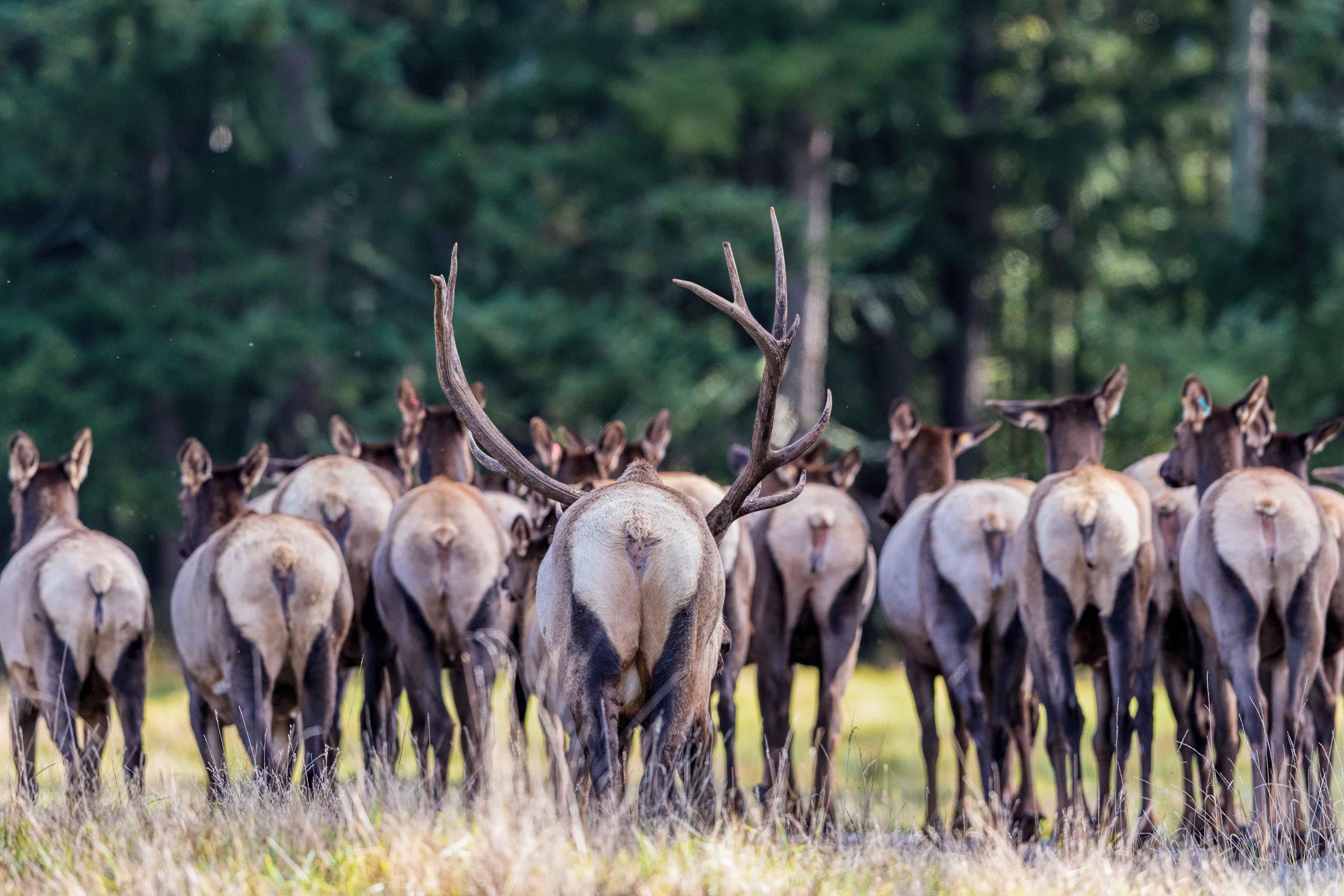 elk herd in fall