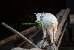 goat kid eating on log