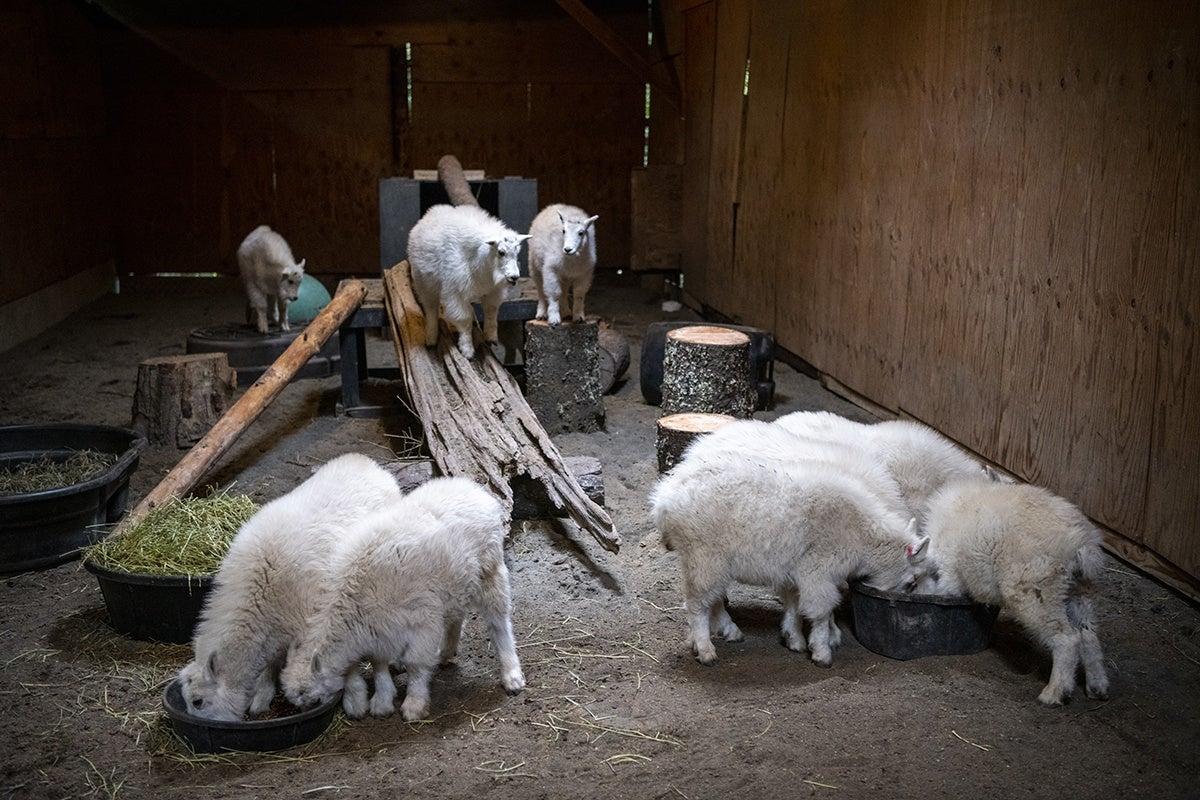 goat kids in barn
