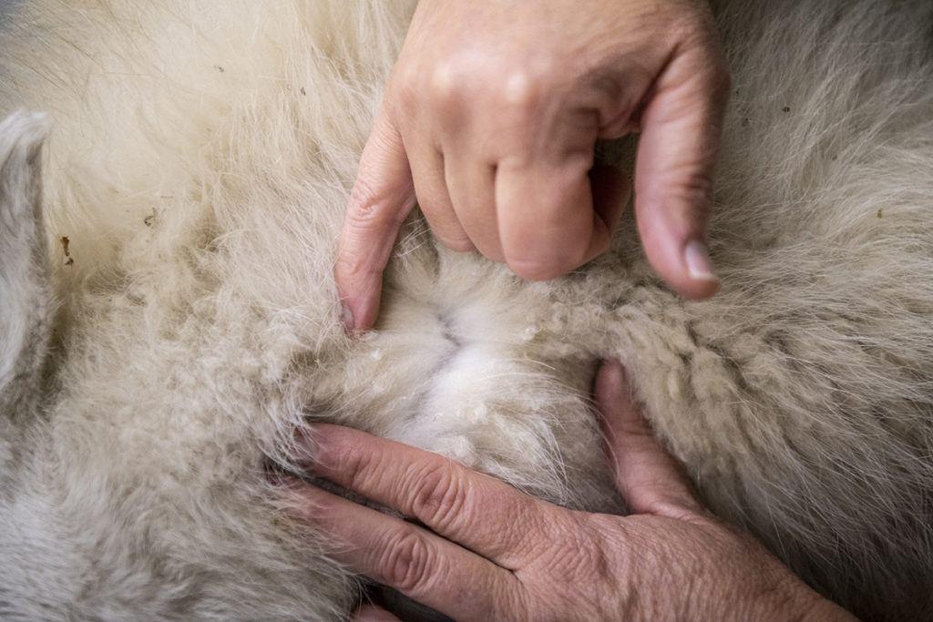 hands on goat fur