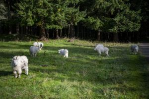 seven mountain goats