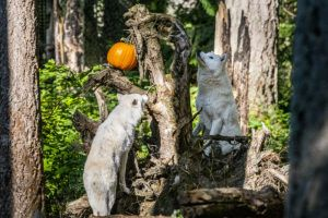 gray wolves and pumpkins