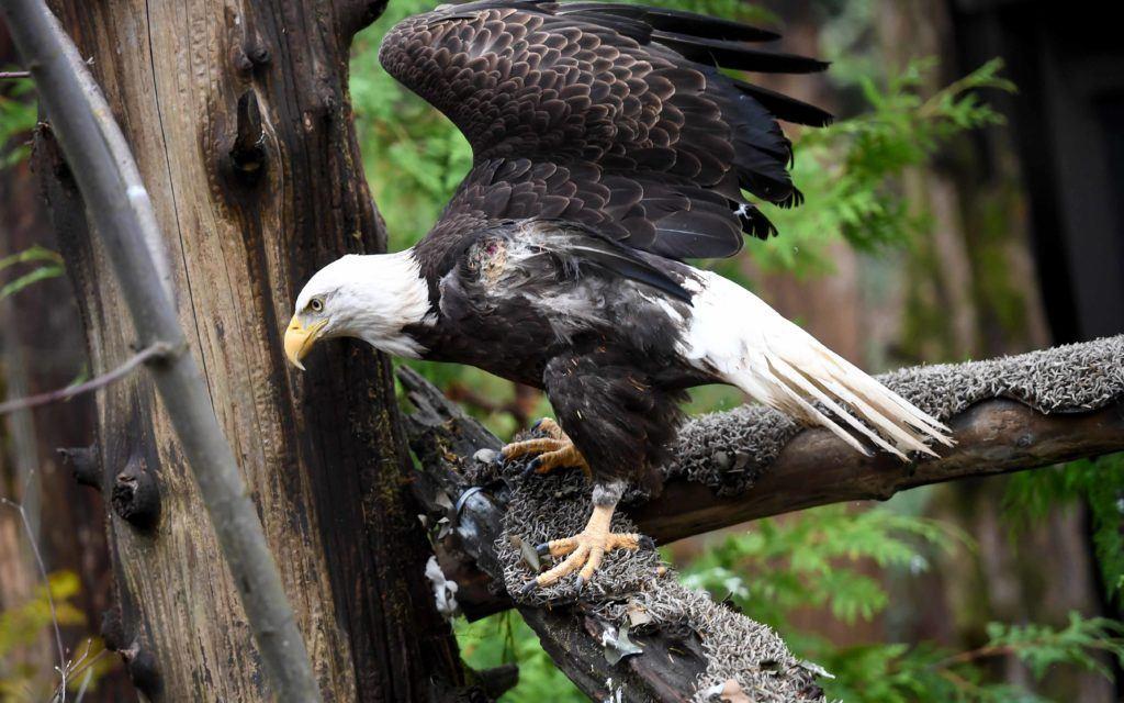 cheveyo the bald eagle