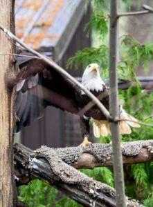 Cheveyo the bald eagle.