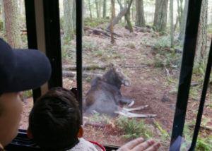 moose outside tour tram