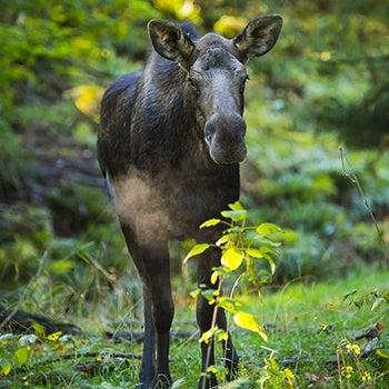moose in trees