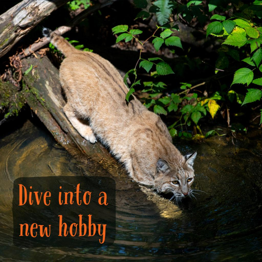 bobcat walking into water
