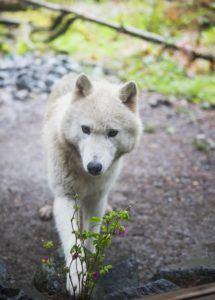Darci the wolf