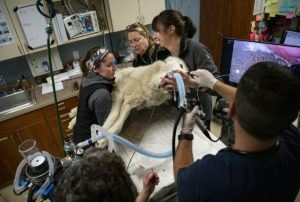 vets lifting wolf in surgery