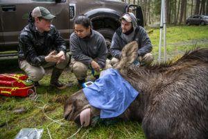 people watch moose get health exam