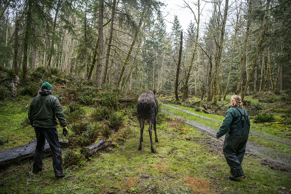 veterinary staff watches a moose