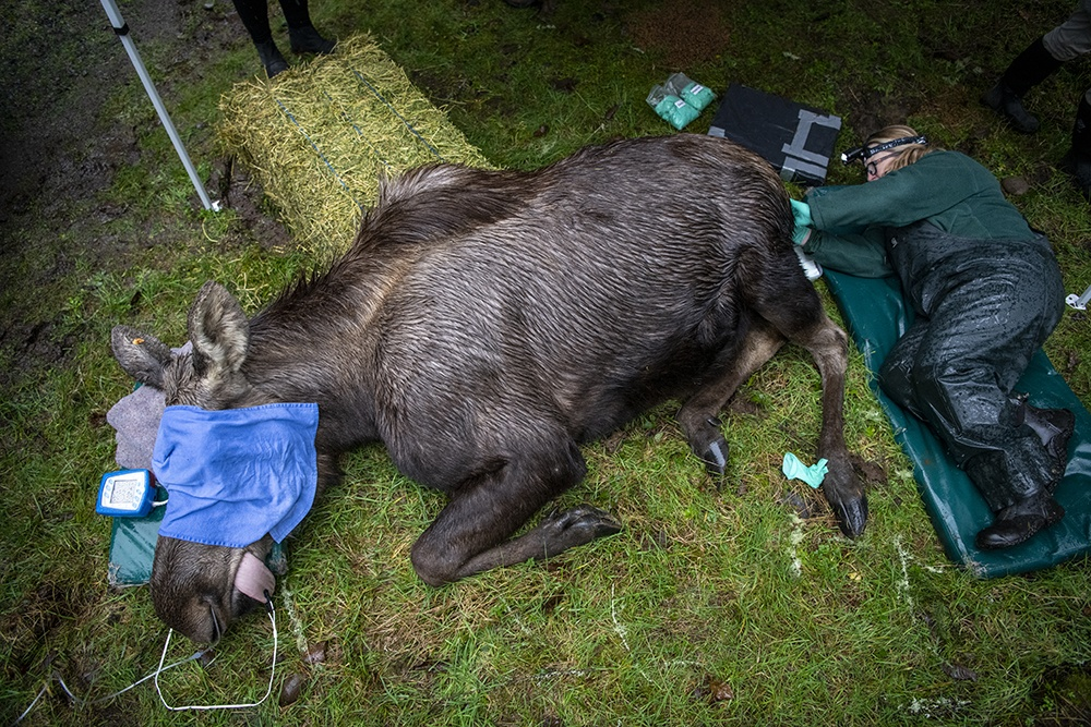 veterinary staff works on moose
