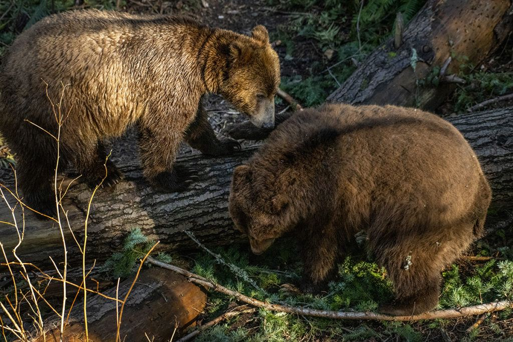grizzly cubs on log