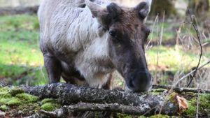 Caribou licking wood