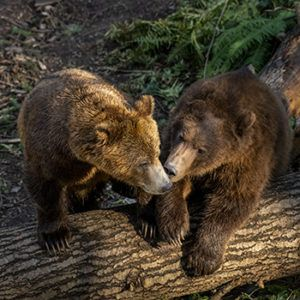 grizzly cubs on log kiss