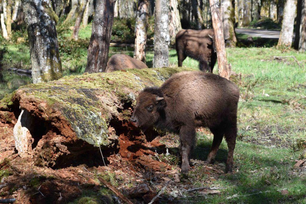 bison calf at log